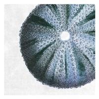 Urchin Shell 3 Fine-Art Print