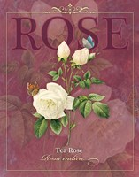 Tea Rose Fine-Art Print