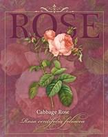 Cabbage Rose Fine-Art Print