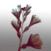 Ombre Freesia Flowers X-Ray Fine-Art Print