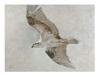 Searching Osprey Fine-Art Print