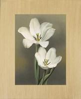 Tulipani Fine-Art Print