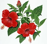 Red Hibiscus Fine-Art Print