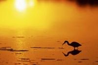 Little Blue Heron at sunset, J.N.Ding Darling National Wildlife Refuge, Florida Fine-Art Print