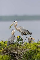 Great Blue Heron and Chicks Fine-Art Print