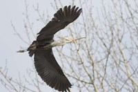 Great Blue Heron, flying back to nest with a stick Fine-Art Print