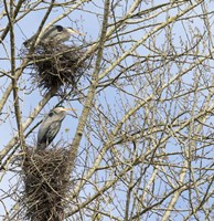 Great Blue Herons, on nest at rookery Fine-Art Print