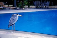 Big Blue Heron, Maldives Fine-Art Print