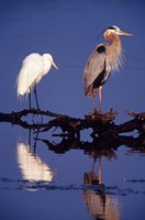 Great Egret and Great Blue Heron on a Log in Morning Light Fine-Art Print