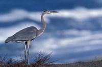 Great Blue Heron, Half Moon Bay, California, Fine-Art Print