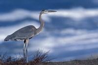 Great Blue Heron, Costa Rica Fine-Art Print