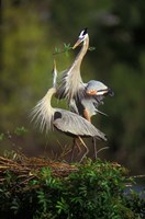 Great Blue Herons in Courtship Display Fine-Art Print