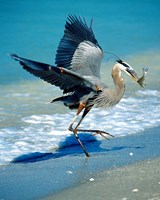 Florida Captiva Island Great Blue Heron bird Fine-Art Print
