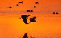 Great Blue Herons Flying at Sunset Fine-Art Print