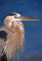 Great Blue Heron, Florida Fine-Art Print