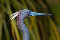Florida St Augustine, Little Blue Heron at the Alligator Farm Fine-Art Print