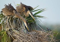 Great Blue Heron chicks in nest looking for bugs, Florida Fine-Art Print