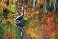 Great Blue Heron in Fall Reflection, Adirondacks, New York Fine-Art Print