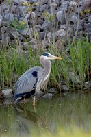 Great Blue Heron bird Maumee Bay Refuge, Ohio Fine-Art Print