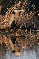 OR, Baskett Slough NWR, Great Blue Heron bird Fine-Art Print