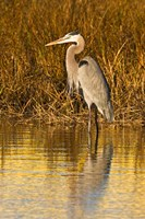Great Blue Heron standing in Salt Marsh Fine-Art Print