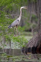 Great Blue Heron bird, Caddo Lake, Texas Fine-Art Print