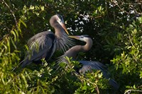 Great Blue Heron, pair in habitat, Texas Fine-Art Print