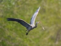 Washington Great Blue Heron flies with branch in its bill Fine-Art Print