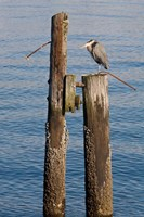 Great Blue Heron bird, Elliott Bay Fine-Art Print