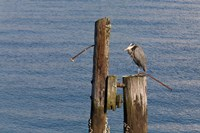WA, Seattle, Great Blue Heron bird, Elliott Bay Fine-Art Print