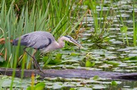 Great Blue Heron bird, Juanita Bay Wetland, Washington Fine-Art Print