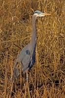 Washington, Seattle, Discovery Park Great Blue Heron Fine-Art Print