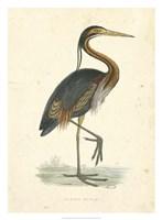 Vintage Purple Heron Fine-Art Print