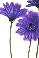 Purple Gerberas 1 Fine-Art Print