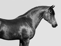 Orpheus, Arab Horse Fine-Art Print