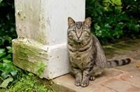 Mississippi, Columbus House cat at Waverley Plantation Mansion Fine-Art Print