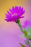 Aster flower in autumn, New Hampshire Fine-Art Print