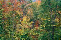 Fall in Northern Hardwood Forest, New Hampshire Fine-Art Print