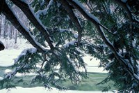 Snow and Eastern Hemlock, New Hampshire Fine-Art Print