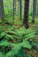 Ferns in the Understory of a Lowland Spruce-Fir Forest, White Mountains, New Hampshire Fine-Art Print