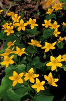 Urban Forestry Center, Marsh Marigolds, Portsmouth, New Hampshire Fine-Art Print
