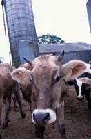 Jersey Cow at the Hurd Farm in Hampton, New Hampshire Fine-Art Print
