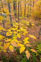 Northern Hardwood Forest, New Hampshire Fine-Art Print