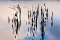 Lily pads and cattails grow in Gilson Pond, Monadanock State Park, New Hampshire Fine-Art Print