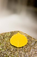 An aspen leaf next to a stream in a Forest in Grafton, New Hampshire Fine-Art Print