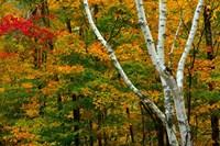 Autumn at Ripley Falls Trail, Crawford Notch SP, New Hampshire Fine-Art Print