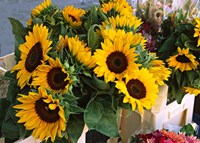 Market Sunflowers, Nice, France Fine-Art Print