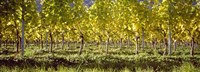 Vineyard, Barcelona, Spain Fine-Art Print