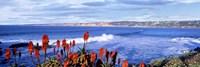 Red Hot Poker, San Diego, California Fine-Art Print