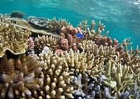 Scuba diving, Fiji Fine-Art Print